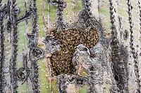 Honey bee hive in saguaro cactus.  Arizona.