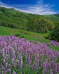 Redwood National Park, CA <br /> Open meadow with bigleaf lupine (Lupinus phoyphyllus) and rolling hills with Oregon White Oak (Quercus garryana) on Bald Hills Road