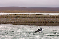 Flipper of gray whale, Eschrichtius robustus, swimming just off the coast of the 1002 area of the Arctic National Wildlife Refuge, Alaska, Beaufort Sea