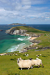 Ireland, County Kerry, The Dingle Peninsula: View over Slea Head to Blasket Sound and islands with sheep | Irland, County Kerry, The Dingle Peninsula: Blick ueber Slea Head zum Blasket Sound