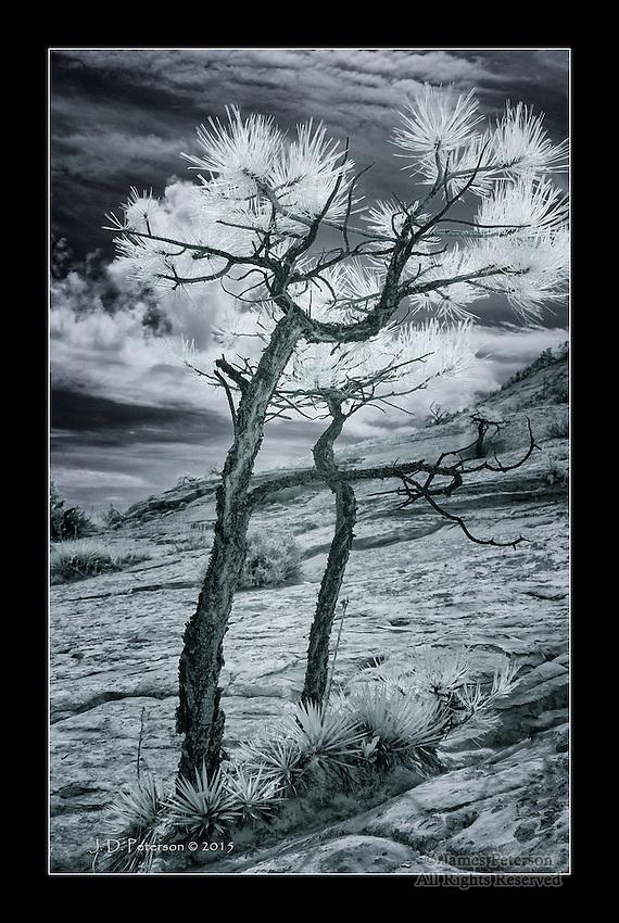 Ponderosas on Slickrock, Burr Trail, Utah (Infrared)
