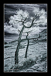 Ponderosas on Slickrock, Burr Trail, Utah (Infrared)