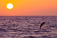 A Hawaiian spinner dolphin (Stenella longirostris) jumps at sunset, Kona, Big Island.