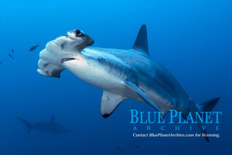 Scalloped hammerhead shark, Sphyrna lewini, Malpelo, Columbia, Pacific Ocean