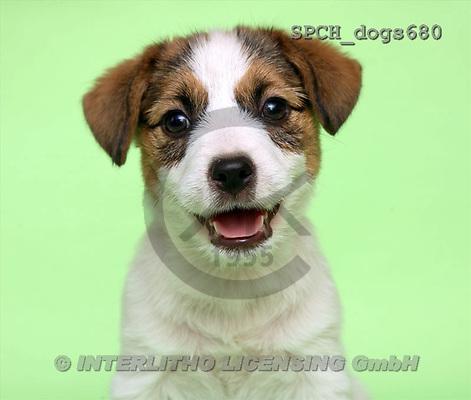 Xavier, ANIMALS, dogs, photos(SPCHdogs680,#A#) Hunde, perros