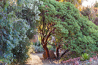 Arctostaphylos 'Ruth Bancroft' California native manzanita shrub Bancroft Garden