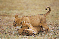 African Lion (Panthera leo), cubs playing, Serengeti National Park, Tanzania, Africa