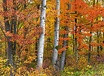 Autumn woodland in northern Wisconsin.
