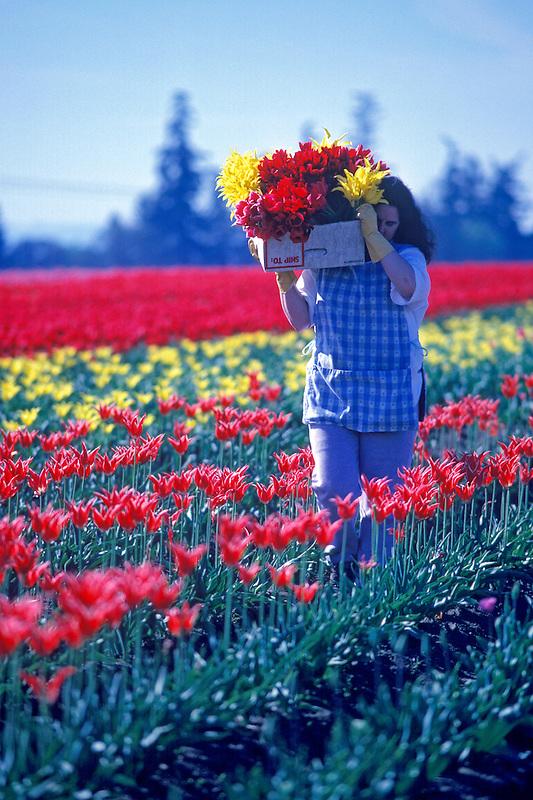 Tulip flower worker. Near Woodburn, Oregon.