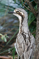 Bush Stone Curlew at Pottsville, New South Wales, Australia