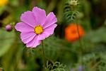 Europa, DEU, Deutschland, Rheinland-Pfalz, Hunsrueck, Schmuckkoerbchen, Bluete, Natur, Umwelt, Pflanzen, Pflanzenkunde, Botanik, Biologie, Das Schmuckkoerbchen auch Fiederblaettrige Schmuckblume oder Kosmee genannt, ist eine Pflanzenart der Gattung Kosmeen (Cosmos) in der Familie der Korbbluetler (Asteraceae). Sie ist vor allem durch ihre Verwendung als einjaehrige Zierpflanze bekannt. Manche Sorten sind auch als Schnittblumen geeignet. - Quelle: https://de.wikipedia.org/wiki/Schmuckk%C3%B6rbchen<br /> <br /> [Fuer die Nutzung gelten die jeweils gueltigen Allgemeinen Liefer-und Geschaeftsbedingungen. Nutzung nur gegen Verwendungsmeldung und Nachweis. Download der AGB unter http://www.image-box.com oder werden auf Anfrage zugesendet. Freigabe ist vorher erforderlich. Jede Nutzung des Fotos ist honorarpflichtig gemaess derzeit gueltiger MFM Liste - Kontakt, Uwe Schmid-Fotografie, Duisburg, Tel. (+49).2065.677997, ..archiv@image-box.com, www.image-box.com]