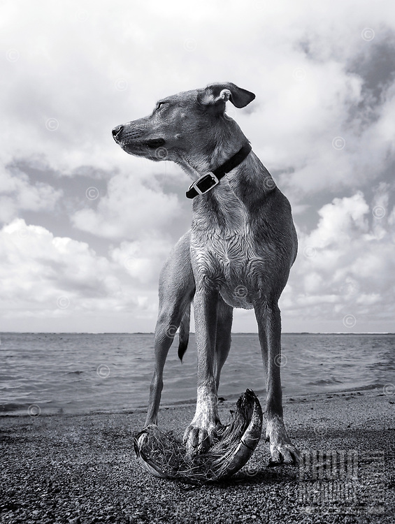 Possession is nine-tenths of the law, per poi dog Isabella on a beach along Maunalua Bay, O'ahu.