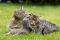 Domestic cat licking young