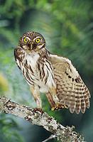 Ferruginous Pygmy-Owl, Glaucidium brasilianum, adult stretching wing, Willacy County, Rio Grande Valley, Texas, USA