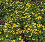Marsh marigold growing in northern Wisconsin.