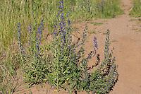 Gewöhnlicher Natternkopf, Natternzunge, Echium vulgare, Viper´s Bugloss, Vipérine