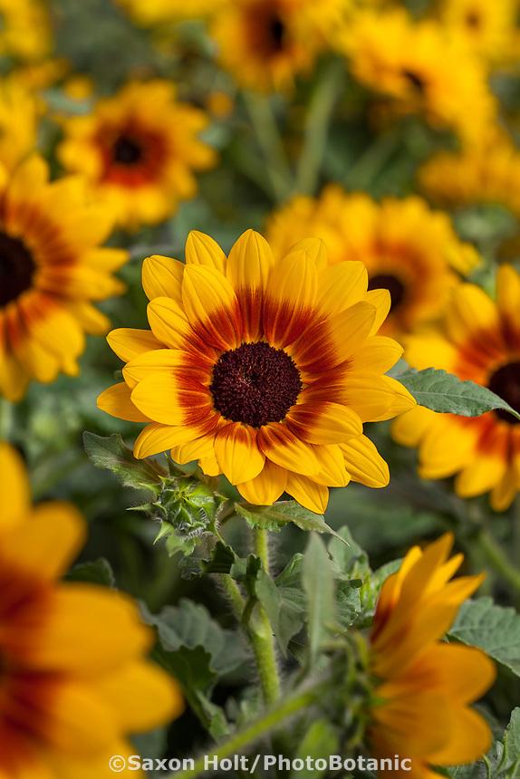 Sunflowers - Sunfinity™ Yellow-Red Bicolor Helianthus hybrida; Syngenta Flowers