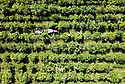 12/07/18<br /> <br /> A tractor drives between rows of elder at Belvoir Fruit Farms - Britain's only elderflower plantation near Branston, Leicestershire. Thanks to this year's warm weather, pickers, who are paid by the weight of the tiny flowers they harvest for the drinks maker, are expected to gather a record-breaking 60 tons of elderflower.<br /> <br /> All Rights Reserved F Stop Press Ltd. +44 (0)1335 344240 +44 (0)7765 242650  www.fstoppress.com