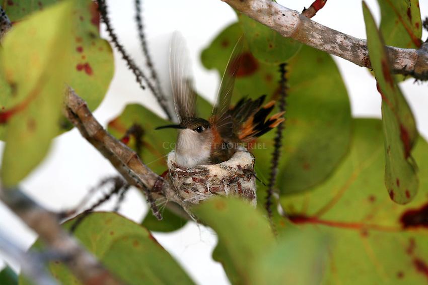 Bahama Woodstar hummingbird on nest in seagrape tree, Andros Island, bahamas, out islands
