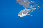 Guadalupe Island, Baja California, Mexico; a large, adult male Great White Shark (Carcharodon carcharias) swims back down into the blue water after breaking the water's surface with it's fins