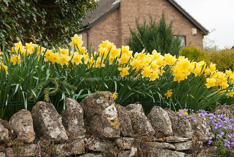 Narcissus on stone wall in flower in spring near house