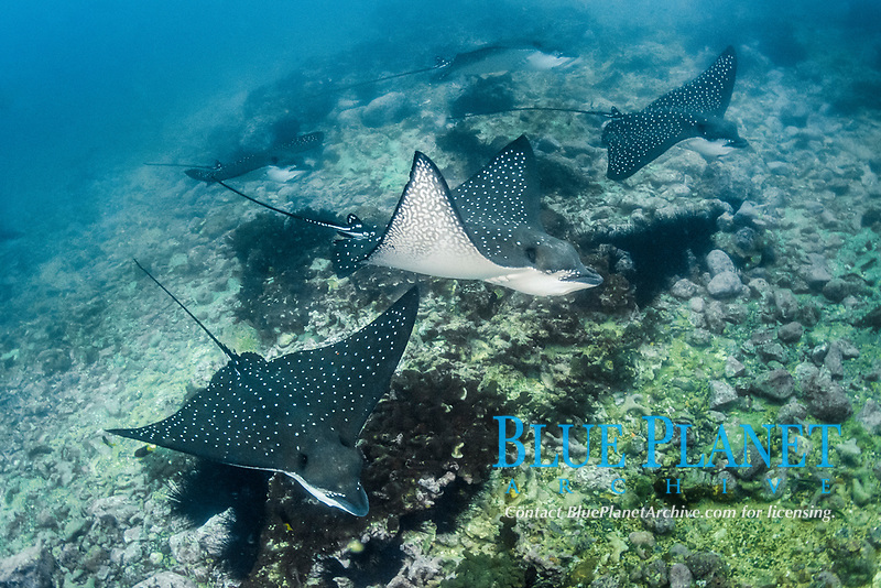 Pacific white-spotted eagle ray, Aetobatus laticeps, Malpelo Island, Colombia, Pacific Ocean