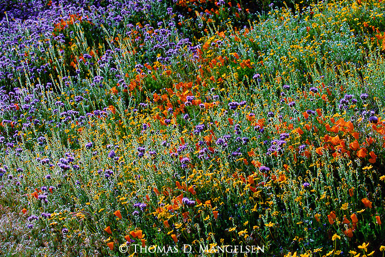 The high desert climate of southern California's Tehachapi Valley, combined with abundant rainfalls during the winter season, gives birth to a rare but resplendent display of wildflowers.
