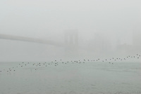 AVAILABLE FROM JEFF AS A FINE ART PRINT.<br /> <br /> AVAILABLE FROM PLAINPICTURE.COM FOR COMMERCIAL AND EDITORIAL LICENSING.  Please go to www.plainpicture.com and search for image # p5690150.  <br /> <br /> Brooklyn Bridge on a Foggy Morning with Flock of Birds Flying over the East River, Lower Manhattan, New York City, New York State, USA