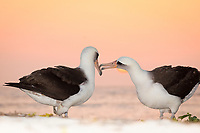Laysan albatross, Phoebastria immutabilis, couple performing courtship ritual at sunset, Sand Island, Midway Atoll, Midway National Wildlife Refuge, Papahanaumokuakea Marine National Monument, Northwestern Hawaiian Islands, Hawaii, USA, Pacific Ocean
