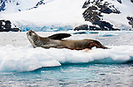 Leopard Seal (Hydrurga leptonyx) on ice flows, Yalour Islands, Antarctic Peninsula, Antarctica.