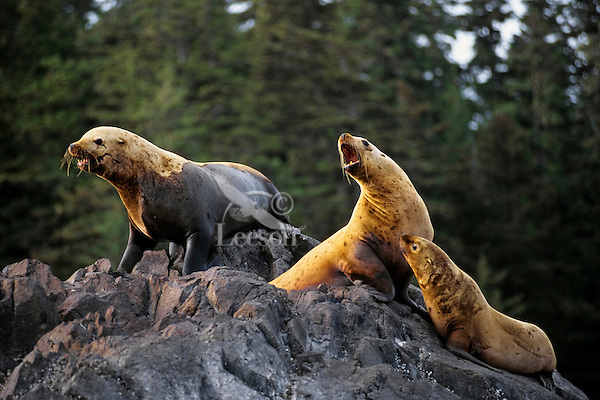 Northern or Steller's Sea Lions (Eumetopias jubatus). Pacific Northwest.
