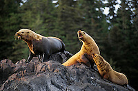 Northern or Steller's Sea Lions (Eumetopias jubatus). Pacific Northwest.