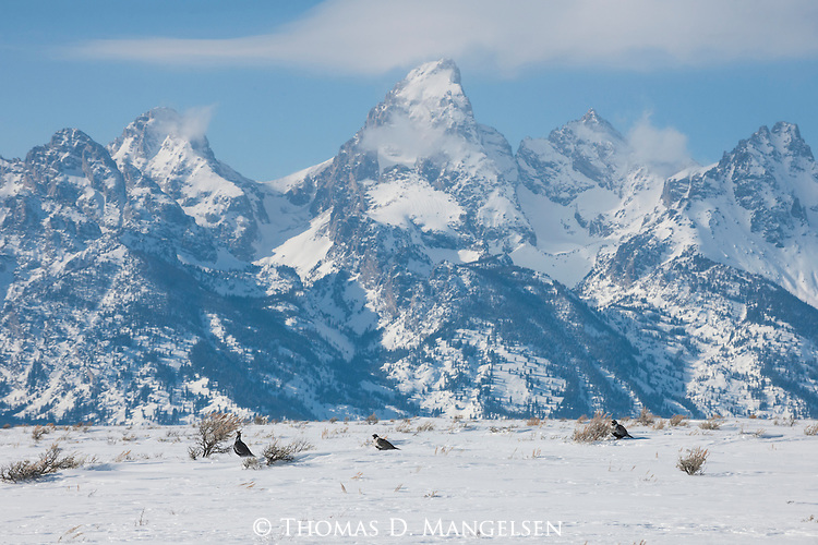 Male greater sage-grouse below the Tetons in Grand Teton National Park, Wyoming.