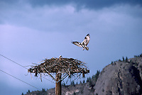 Osprey (Pandion haliaetus) at Nest built on Top of Pole - Okanagan, BC, British Columbia, Canada - North American Birds