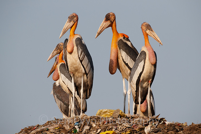 Adult Greater Adjutants at Boragaon Landfill. Assam, India.