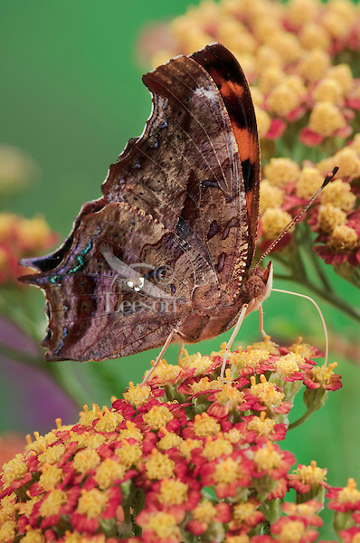 Question Mark Butterfly (Polygonia interrogationis) uses probiscus like a straw to sip nectar from Yarrow flowers (Achillea millefolium) in backyard garden. This butterfly's common name is dervied from the small silver curved line and dot on the underside of its hindwing that looks like a question mark. Summer. Nova Scotia, Canada.