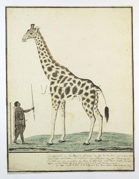 Giraffe (Giraffa camelopardalis), Hottentot Warrior and a scale - by Robert Jacob Gordon, 1779