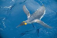 king penguin swimming, Aptenodytes patagonicus, Macquarie Island, Australia