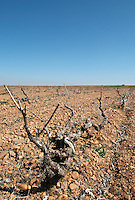 prieto picudo old vine sandy gravelly soil planted ca 1920 Bodegas Margon , DO Tierra de Leon , Pajares de los Oteros spain castile and leon