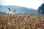 Europa, DEU, Deutschland, Hessen, Landkreis Fulda, Fulda, Luedermuend, Morgenstimmung, Dunst, Agrarlandschaft, Getreide, Sommer, Kategorien und Themen, Landwirtschaft, Landwirtschaftlich, Agrar, Agrarwirtschaft, Natur, Naturfoto, Naturfotos, Naturfotografie, Naturphoto, Naturphotographie, Landschaft, Landschaften, Landschaftsfoto, Landschaftsfotografie, Landschaftsphoto, Landschaftsphotographie<br /> <br /> [Fuer die Nutzung gelten die jeweils gueltigen Allgemeinen Liefer-und Geschaeftsbedingungen. Nutzung nur gegen Verwendungsmeldung und Nachweis. Download der AGB unter http://www.image-box.com oder werden auf Anfrage zugesendet. Freigabe ist vorher erforderlich. Jede Nutzung des Fotos ist honorarpflichtig gemaess derzeit gueltiger MFM Liste - Kontakt, Uwe Schmid-Fotografie, Duisburg, Tel. (+49).2065.677997, ..archiv@image-box.com, www.image-box.com]