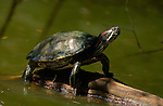 Red-eared Slider, Pond Slider, Franklin Canyon, Southern California