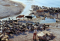 - pastore e greggie di capre sulla spiaggia di  Qeparò, nel sud del paese....- shepherd and herd of goats on the beach of Qeparò, in the south of the country