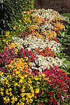 BED OF NEBULA NEMESIA MIX EDGED IN PAK CHOI AT PACK TRIALS