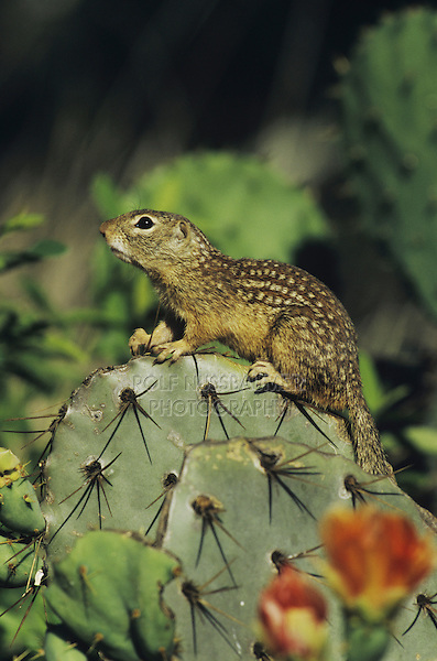 Mexican Ground Squirrel (Spermophilus mexicanus),adult perched on Texas Prickly Pear Cactus(Opuntia lindheimeri), Starr County, Rio Grande Valley, Texas, USA