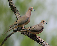 Mourning Doves, Garza Ranch, South Texas
