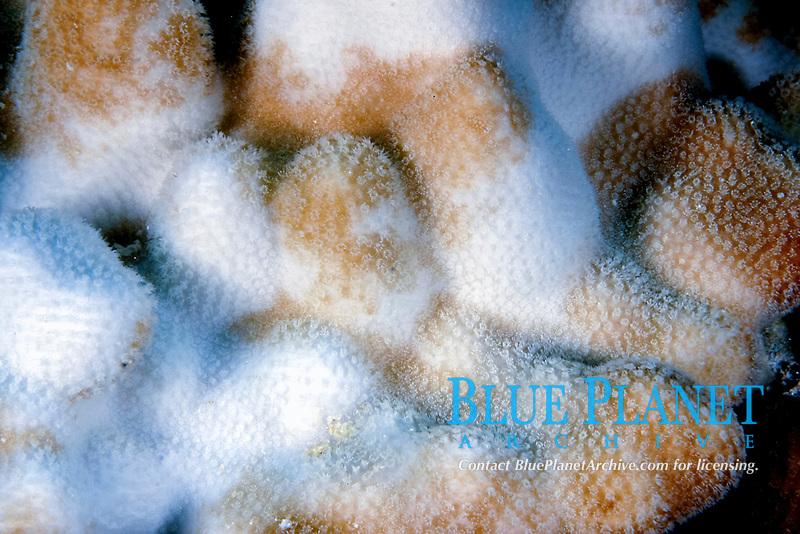 hard coral, Pocillopora species, showing bleaching, Lisianski, Pearl and Hermes Reef, Papahanaumokuakea Marine National Monument, Northwestern Hawaiian Islands, Hawaii, USA, Pacific Ocean