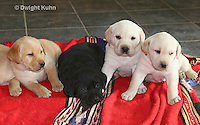 SH37-503z  Lab Puppies - Genetic variation, Black, Yellow and White,  4 weeks old
