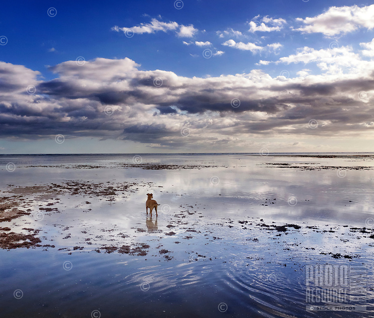 The adventures of a solitary dog: Isabella, a rescue dog, looks out at the horizon at Maunalua Bay, O'ahu.
