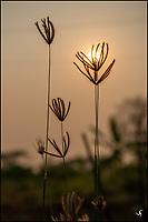 Tall grass against rising sun, Chiang Mai, Thailand.
