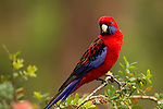 Crimson Rosella (Platycercus elegans) female, Pebbly Beach, Murramarang National Park, New South Wales, Australia